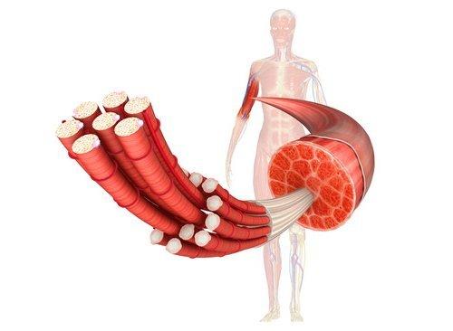 protein muskulatur muscle
